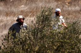 المستوطنون يسرقون الزيتون من اراضي حوارة جنوب نابلس
