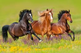 سابقة تاريخية ..اختفاء الخيول البرية عن وجه الأرض بشكل تام