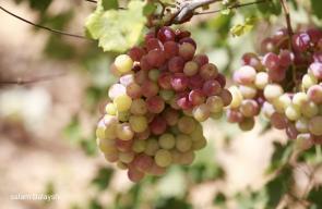 جانب من موسم العنب في رام الله