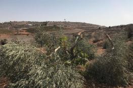 في موسم قطافه ...المستوطنون يقطعون 40 شجرة زيتون شمال رام الله