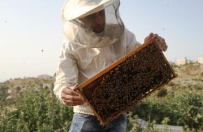 موسم تطريد وتقسيم النحل في مدينة دورا جنوب الخليل.