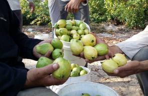 جانب من قطف ثمار الجوافة في غزة