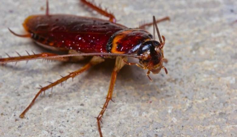 دراسة امريكية غريبة : اكل الصراصير يعزز صحة جسم الانسان