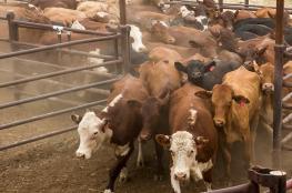 """الزراعة تعلن تحقيق انجازات استراتيجية في ملف """"العجول """""""