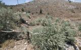 اقتلاع اشجار زيتون في بيت لحم
