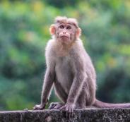 القرود وفيروس كورونا