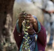 موسم الزيتون في فلسطين