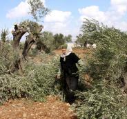 تقطيع اشجار الزيتون في بيت لحم
