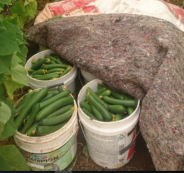 السجن عامين لمزراع في جنين ري مزروعاته بالمياه العادمة