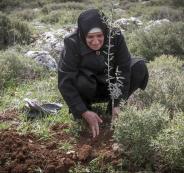 اقتلاع اشجار زيتون في دير بلوط