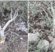 المستوطنون يقطعون اشجار زيتون في عرابة بجنين