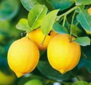 قلقيلية تصدر الليمون