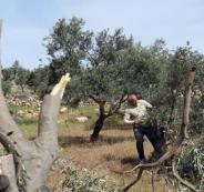 قطع اشجار الزيتون في بيت لحم
