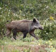 قطعان الخنازيز تسبب خسائر بـ15 ألف شيقل بمزروعات جنوب جنين
