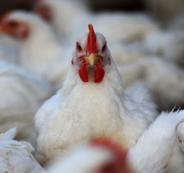 سعر الدجاج في الاسواق الفلسطينية