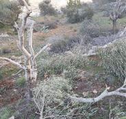 المستوطنون واشجار زيتون