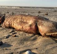 مخلوق ضخم ومرعب حير العلماء جلبه إعصار هارفي من البحر
