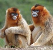 علاج كورونا والقرود