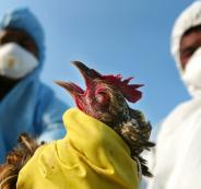 إيران تعدم 25 مليون دجاجة