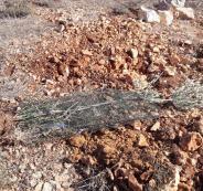 اقتلاع اشجار زيتون