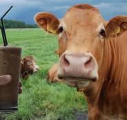 الابقار وحليب الشوكلاته