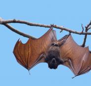 خفافيش وفيروس كورونا