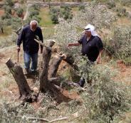 المستوطنون واشجار الزيتون في بيت لحم