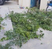 ضبط اشجار قات مخدر في رام الله
