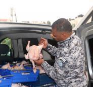 اتفلاف 250 كغم دجاج غير صالح للاستهلاك الآدمي في رام الله