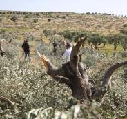تقطيع اشجار الزيتون في نابلس