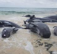 انتحار جماعي لحيتان في استراليا