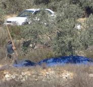 مستوطنون يسرقون ثمار الزيتون في رام الله ونابلس