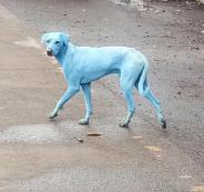 كلاب زرقاء في الهند