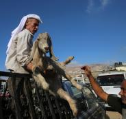 سعر الاضحية في الضفة الغربية