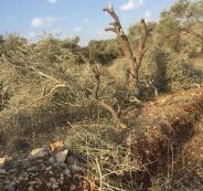 قطع اشجار الزيتون في الساوية