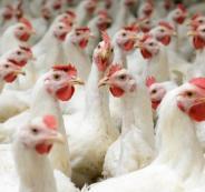 اسعار الدجاج في السوق الفلسطيني