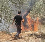 المستوطنون يحرقون أشجار الزيتون في نابلس