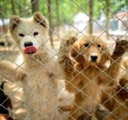 مهرجان لاكل الكلاب في الصين