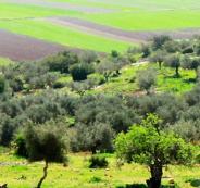 غرامات لمن يقتلع شجرة زيتون في رام الله