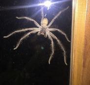 ظهور عناكب في استراليا