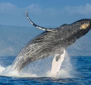 ماذا يحصل لك اذا قام حوت بابتلاعك .. وهل الحوت حقًا قادر على ذلك؟
