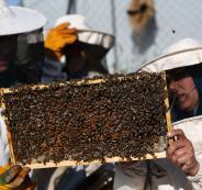 عدد خلايا النحل في فلسطين