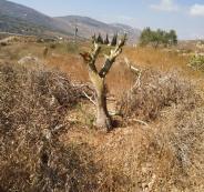 قطع اشجار الزيتون في ياسوف