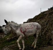حمار يقتل 3 دواعش في العراق