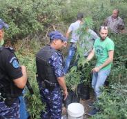 الشرطة تضبط كميات كبيرة من المارجوانا بين بلعين وصفا غرب رام الله