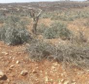 قطع اشجار زيتون في الضفة الغربية