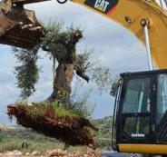 الاحتلال يقتلع 22 شجرة زيتون غرب رام الله
