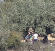 سرق عشرات المستوطنين اليوم الأحد، ثمار عشرات أشجار الزيتون من أراضي قرى نابلس. وقال غسان دغلس مسؤول ملف الاستيطان في شمال الضفة لـ معا، إن مستوطنين من