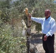 مستوطنون يدمرون عشرات أشتال الزيتون من أراضي نابلس
