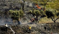 مستوطنون يحرقون 60 دونماً من أشجار الزيتون في بورين جنوب نابلس